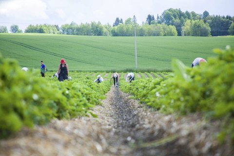 Krevende arbeid: Saxebøl forteller at de 24 arbeiderne jobber godt for pengene, og at en norsk ungdom vil måtte strekke seg langt for å oppnå samme effektivitet og resultat.Foto: Eskild g. berge