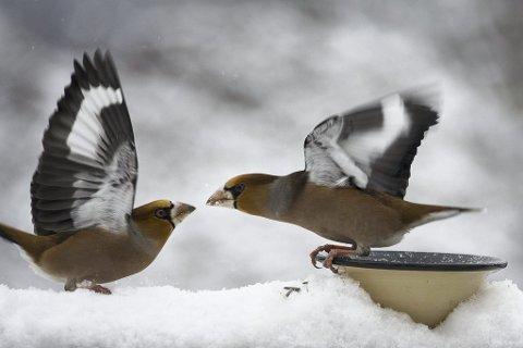 Kom ikke her: Kjernbiterne kan være av det nebbete slaget, og det har vært mange i hagen denne vinteren.