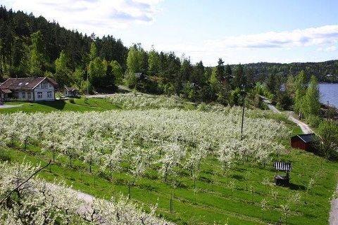 FRUKTBLOMSTRING: Sånn ser det ut når plommetrærne på Sjødalstrand står i full blomst. Nå er rådyr i ferd med å ødelegge avlingen for mange år fremover.