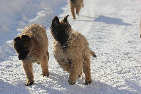 FORSVANT: To hundevalper er savnet.