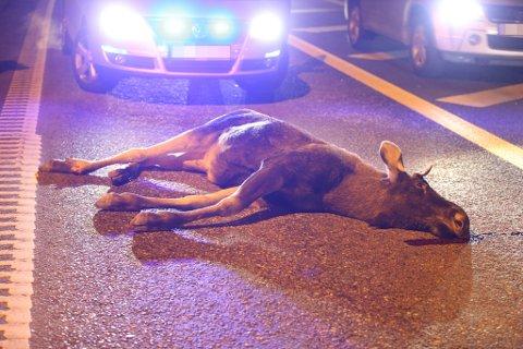 VONDT: Det kan være vondt å se en skadet elg som lider, men viltforvalter i Larvik kommune ber folk om å ringe politiet, slik at de kan kalle ut kommunes ettersøksjegere, som både er kurset og riktig utstyrt. (Arkivfoto: Geir Eriksen)