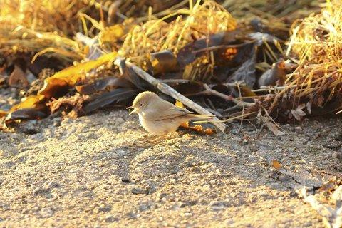 Liten gjest: Ørkensanger ved Rakke. Foto: Anders Mæland