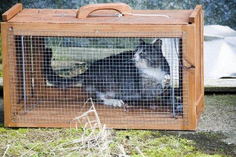 Fanger inn: Mattilsynet samarbeider nå med huseier om å fange inn kattene på eiendommen i Hovland-området. Bildet er fra en av KBVs feller på torsdag i forrige uke, Foto; Bendik Løve