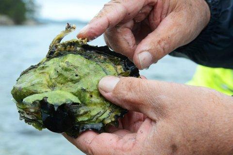 STILLEHAVSØSTERS: Denne østersen tar over mange steder og nå skal det plukkes.
