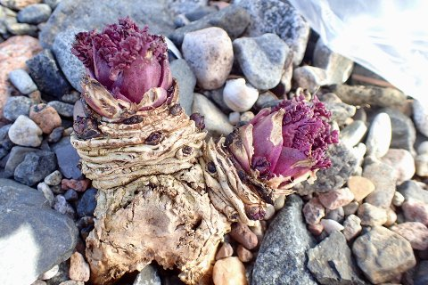 Strandkål. Dette er den absolutt tøffeste planta på Mølen! Med dype røtter klorer den seg fast mellom rullesteinene helt ned i brenningsonen. Denne planta er mange år gammel og setter nye skudd hvert eneste år. Knoppene ligger godt beskyttet i den tjukke «barken» og tåler både saltvann og frost. I juli gleder den oss - og insektene - med store velduftende blomsterskjermer.