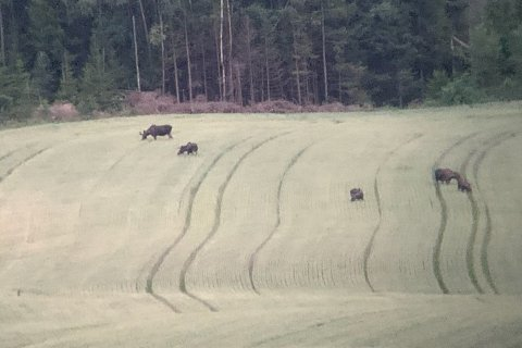 SVÆRT SPESIELT: Å se fem elg og tre kronhjorter på samme tid og sted er nokså spesielt.