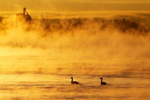 Et svanepar svømmer i Oslofjorden en kjølig morgen.