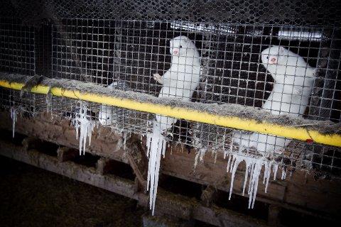 Minkdyr i bur på en gård på Vestre Toten. Stortingsflertallet sier ja til fortsatt pelsdyrnæring i Norge, til tross for at det på er avdekket alvorlige brudd på reglene for dyrevelferd flere steder. (Arkivfoto: Heiko Junge / NTB scanpix)