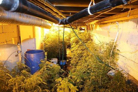 HASJPLANTASJE: I Nord-Odal avdekket politiet en hasjplantasje med 1400 planter. I Sør-Odal fant de en med 350 planter. Foto: Politiet