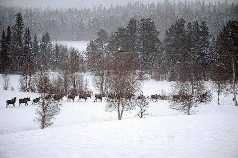PÅ REKKE OG RAD: Disse 26 elgene ble nylig spottet på rekke og rad i Granberget. (Foto: Bengt Magnusson)