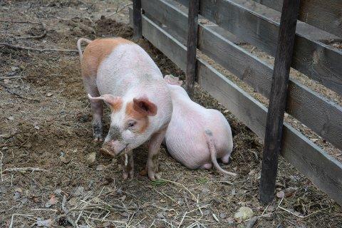 PINNEGRIS: To rosa griser trives på Glomdalsmuseets friluftsareal.