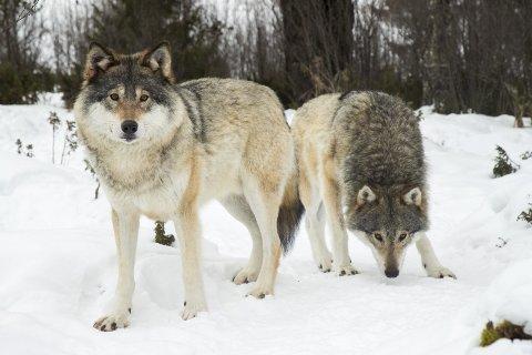 """INGEN OPPHAVSUNDERSØKELSE: Miljøverndirektoratet gir ikke Trysil kommune anledning til å bruke sin """"ulvemillion"""" til å utrede ulvens geografiske og genetiske opphav."""