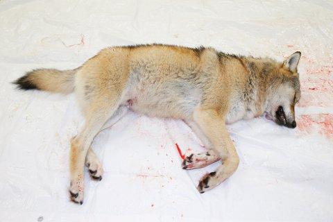 ULV SKUTT: En ulvetispe ble tirsdag formiddag skutt i Grue. Dette var den sjuende ulven av kvoten på tolv som kan felles utenfor ulvesona. Bildet viser en ulv som ble skutt i Ringsaker i november.