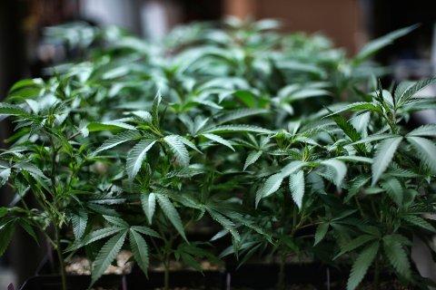 Cannabisplanter som blir grodd i California i USA. Det siste året har en av sju personer mellom 16 og 24 år i Norge brukt cannabis, og over en av fire i aldersgruppen har prøvd stoffet, ifølge SSB-tall.