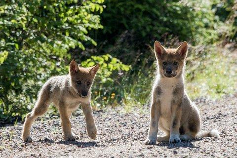 FORTSATT JAKT: Rovviltnemndene i Akershus og Hedmark står fast på å øke fellingskvoten utenfor ulvesonen med fire dyr.  Foto fra 2017 av ulvevalpene som ble observert i Elverum kommune.