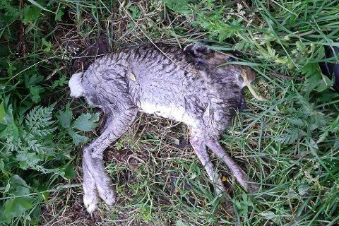 VED AURSUNDEN: Hans Iver Kojedal forteller at Joachim Salvesen tok dette bildet av en død hare ved Aursunden tidligere i år.