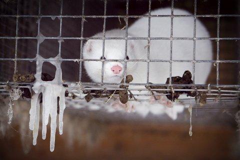 Det blir forbudt å drive med pelsdyroppdrett i Norge fra 1. februar 2025. Regjeringen har vedtatt en erstatningsordning for bøndene, men opposisjonen er ikke fornøyd og håper å få med Frp på laget. Arkivfoto: Heiko Junge / NTB scanpix