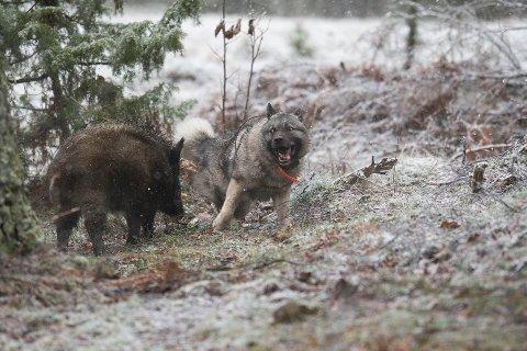 LOS: Knut Arne Gjems' gråhund Jåma på vilsvinjakt i Sverige i 2018.