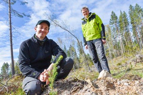 NY SKOG PLANTES: Anders Sandbæk, skogkulturleder for Elverum og Trysil, ved ei lita gran som denne uke er plantet ut i Stavåsen. Bak står Sverre Holm, skogskjøtselsjef i Glommen Mjøsen Skog AS.