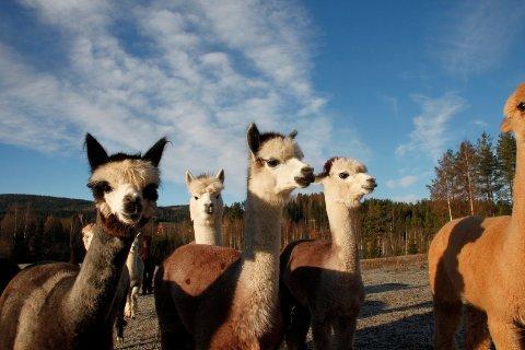 ALPAKKA: 22 alpakkaer stortrives i Våler. Nina og Rolf Barbakken fikk de første dyrene i 2008, og har funnet ut at dette er dyr å satse på.