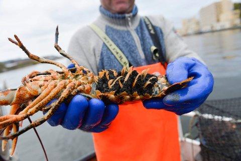 Hummerfisket startet torsdag morgen og er regulert fordi bestanden er presset. Men ikke alle fiskere klarer å holde seg til regelverket.