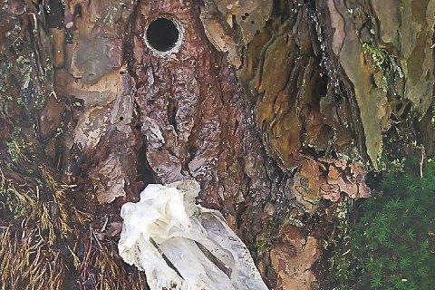 PLASTEN: Her er plasten som ble brukt i hullet på treet. Der kan Kripos finne DNA som kan avsløre den eller de som står bak forgiftningen.