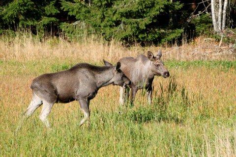 Det skal skytes minimum 40 prosent kalv av de 179 dyrene som står på kvotelisten til Rakkestad kommune under årets elgjakt. Illustrasjonsfoto