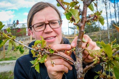 KLARTE SEG IKKE: De fleste av Sidsel Marie Gjerlaugs søte kirsebærbusker (moreller) overlevde ikke frostnettene. Men noen kan ha klart seg. Her sjekker hun om det er svart (dødt) eller grønt (klart seg) innerst i blomsten.