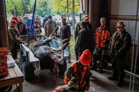 Meld inn: RA ønsker å samle elgfall og historier fra årets elgjakt.
