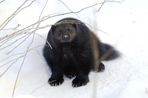En 17 kilo stor hannjerv ble nylig felt i Rana. Han er den største som er skutt i Nordland under lisensjakt. Jerven på bildet har ingenting med jakthistorien å gjøre. Foto: Torild Wika