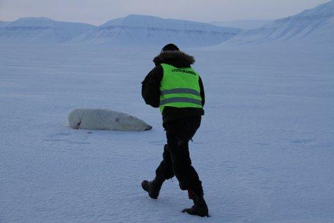 Her er isbjørnen etter at den ble avlivet. Foto: Sysselmannen
