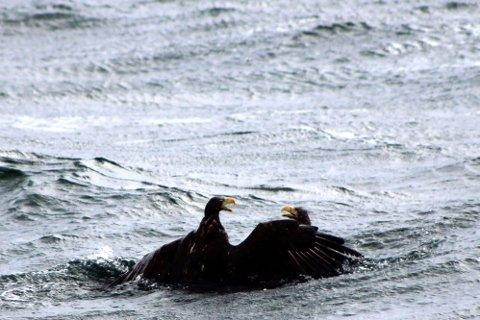 LIV OG DØD: To havørner kjemper her for livet i vannet utenfor Kvalsnes i Sjona. Kun en kom opp fra det våte element i live. Foto: Sindre Thomassen