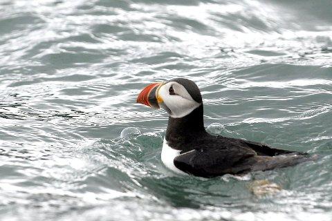 PÅ HAVFLATEN: Ingen lundefugler har i år tatt turen opp mot Lundeura på Lovund før Lundkommardagen. Foto: Geir Vea