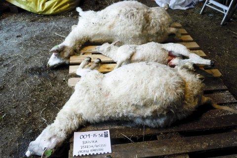 Døde: To sauer og et lam måtte bøte med livet.Foto: SNO