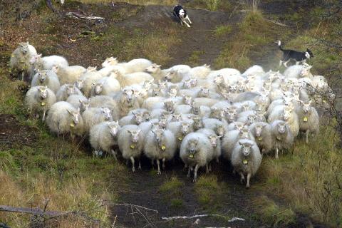 Lam ble avfall: 2,5 tonn kjøtt fra 146 lam måtte kastes etter at de ble slaktet ved Nortura Bjerka før en veterinær fra Mattilsynet hadde fått gjennomført den påkrevde kontrollen av levende dyr.ILlustrasjonsfoto: Arne FORBORD