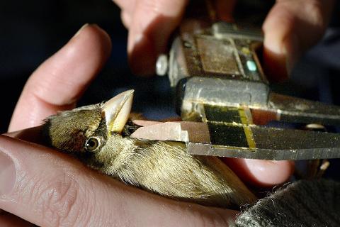 Huskaill: En gråspurv undersøkes gjennom et spurveprosjekt i Rauvassdalen.Foto: Øyvind Bratt