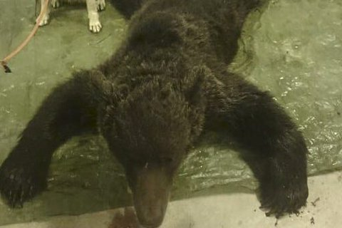 SKUTT: Fellingen av denne skadebjørnen i Grane satte en effektiv stopper for lisensjakta i høst.