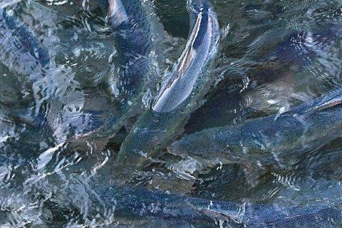 Salmo Pharma samarbeider med kanadiske Aquaculture Veterinary Services International, som har patentert et legemiddel mot lakselus, med navnet D-10 Aquatic Blast. Legemiddelet tilføres fisken gjennom fôret.