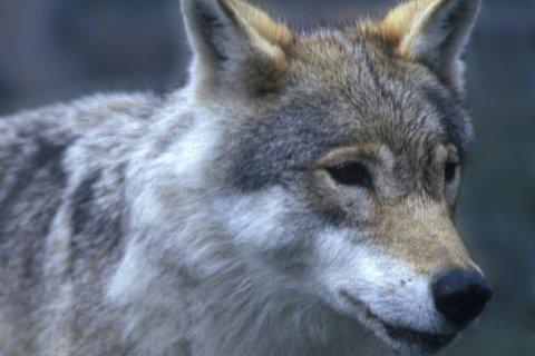 Farlig eller ikke? Ifølge forskningssjef Morten Kjørstad fra Norsk institutt for naturforskning, er det 217 år siden sist et menneske ble drept av ulv i Norge.