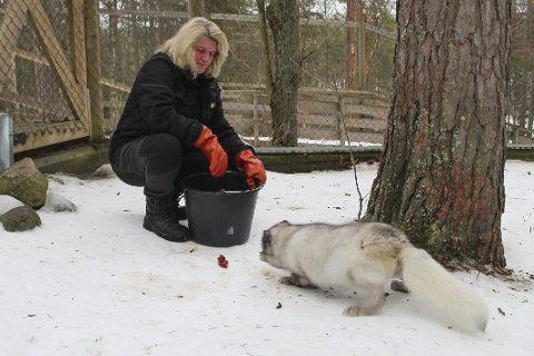 Middagstid: Dyrepasser Carola Stälfjell mater fjellrevene. Snart åpner de dyreparken for besøkende.