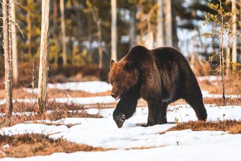 Brunbjørn: Bildet et tatt i grenseområdet mellom Finland og Russland.
