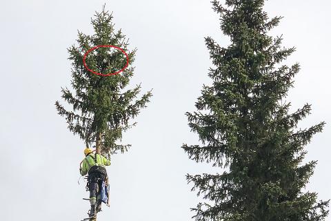 Erling Koppang saget seg vei opp grana og klatret opp med stolpesko, men etter en og en halv times klatring måtte han gi opp. Han nådde ikke helt opp til katta.