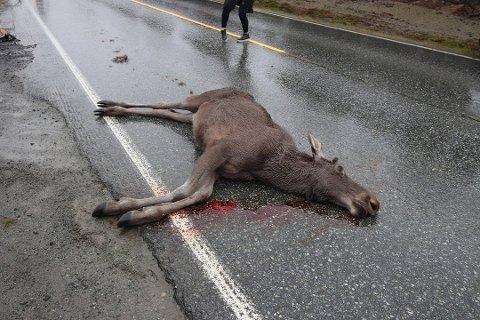 ELGPÅKJØRSEL: Dette bildet er fra en elgpåkjørsel tidligere i sommer.