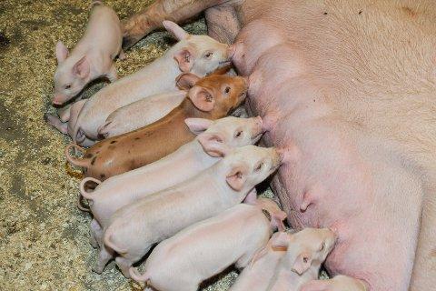 Nestleder Per-Anton Nesjan i Nordland Bonde- og småbrukerlag mener det må skje en endring av norsk landbrukspolitikk, for å oppnå en bedre dyrevelferd. Bønder må ikke produsere mest mulig, men få tid til å ta mer vare på dyra sine. Han mener dagens regjering ønsker et industrilandbruk, der de store premieres.