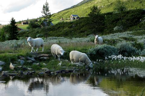 Glade sauer på fjellbeite koser seg med friskt gress uten å bli plaget av rovdyr.