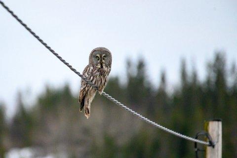 Ungdom: Lappugla som befinner seg i Leirfjord er en ungfugl som i følge NOF Nordland mest sannsynlig stammer fra Sverige.