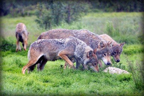 Ikke dokumentert. Den påståtte observasjonen av ulv på Storå ble verken dokumentert med bilder eller video. Dette bildet er tatt i Polar Zoo.