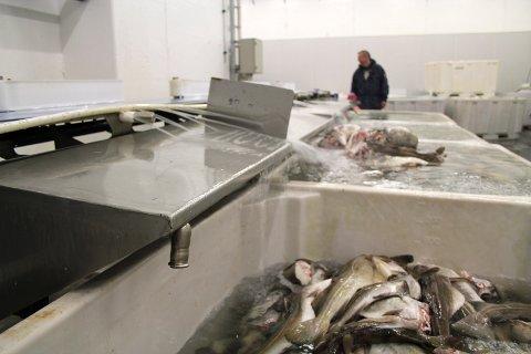 Produksjonen hos Træna Seafood går for fullt. Daglig leder Per Arne Ingebrigtsen kunne ønsket seg fire ekstra personer i februar og mars, men sier at de skal klare seg gjennom den hektiske vintersesongen.