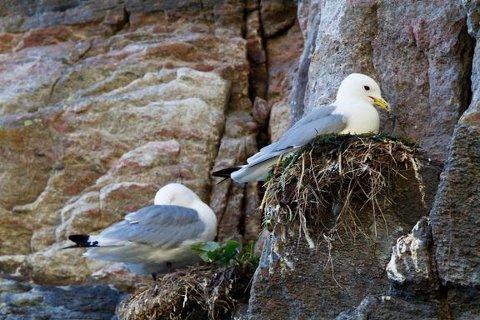 Fuglene er ekstra sårbare i hekketiden og trenger ro. På deler av øyer i Lurøy og Rødøy er det nå totalt ferdselsforbud.