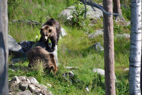 I Västerbotten har det i år blitt felt 85 bjørner. Arkivbilde: Beate Nygård Johansson
